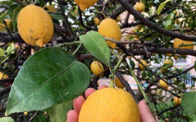 Limonlu Su Nasıl Hazırlanır? Zayıflatır mı?