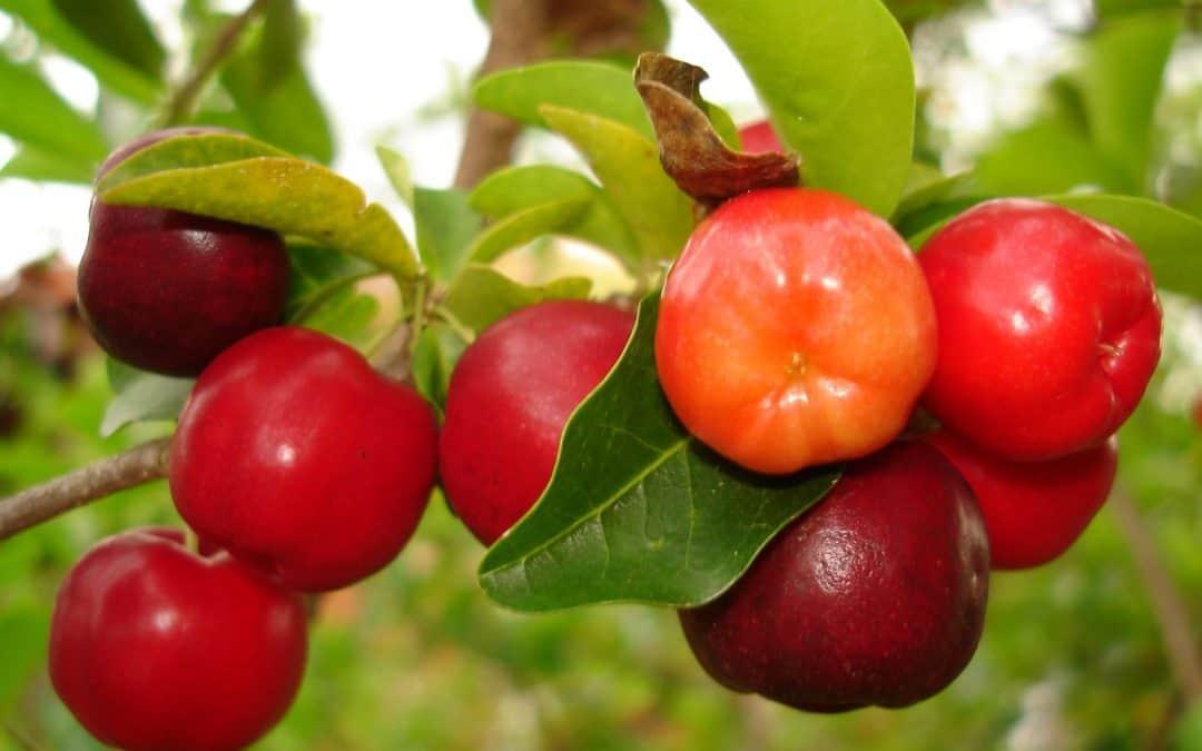 Acerola Meyvesi Barbados Kirazı Faydaları Nelerdir?