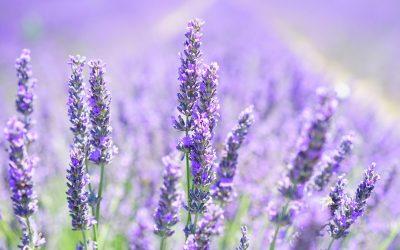 Lavanta Bitkisinin Kullanım Alanları, Faydaları Nelerdir?