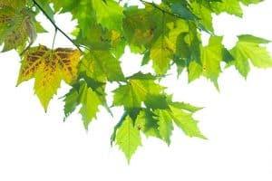 çınar yaprağı ne zaman toplanır