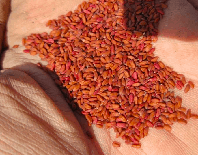 tere tohumu kürü faydaları