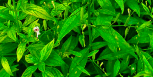 andrographis paniculata