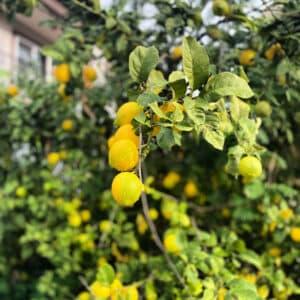 köyceğiz limonu
