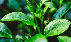 Evde çay ağacı yağı nasıl yapılır