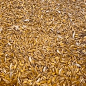 karakılçık ata tohumu