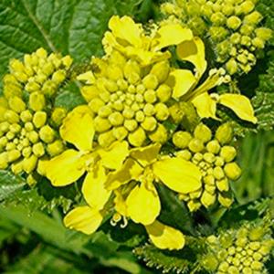 sarı hardal tohumu