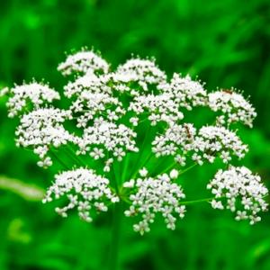 anason tohum yerel