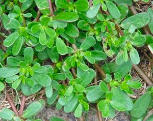 Semizotu tohumu hangi ayda ekilir