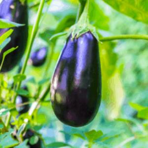 topan patlıcan tohumu
