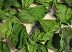 Dut yaprağının egzamaya faydaları
