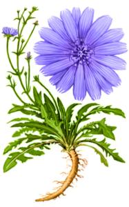 Hindiba çiçeği