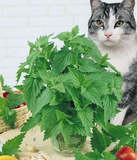 Kedi nanesi yenir mi