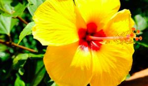Amber çiçeği bakımı