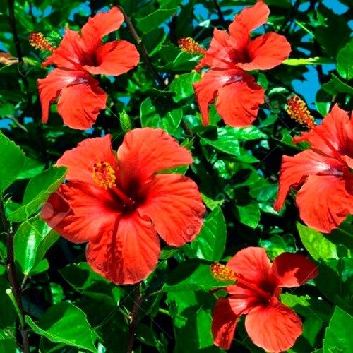 Amber çiçeği özellikleri